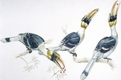 Birds, Coraciiformes, Great Hornbill, (Buceros Bicornis) Feeding