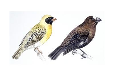 Birds: Passeriformes, Red-Billed Quelea (Quelea Quelea) and Thick-Billed Weaver