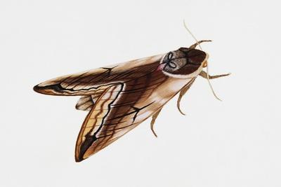 Privet Hawk Moth (Sphinx Ligustri), Sphingidae, Artwork by Rebecca Hardy