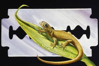 Fantastic Least Gecko (Sphaerodactylus Fantasticus), Gekkonidae