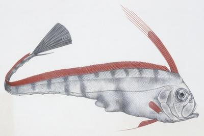 Fishes: Lampriformes Trachipteridae, Scalloped Ribbonfish (Zu Cristatus)