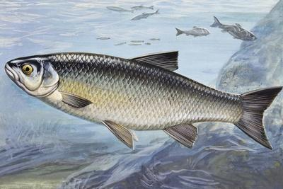 Chub, Chevin or Pollard (Squalius Cephalus or Leusciscus Cephalus), Cyprinidae