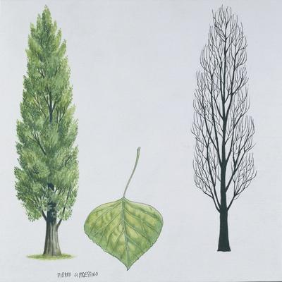 Salicaceae - Black Poplar or Lombardy Poplar Populus Nigra Var. Italica