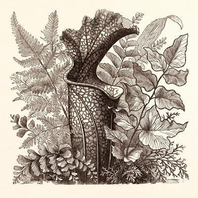 January. Pteris Argentea. Andiantum Formosum. Sarracenia Drummondi. Adiantum Cultratum. Pteris Macr
