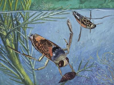 Backswimmers (Notonecta Maculata), Notonectidae, Chasing Food Underwater