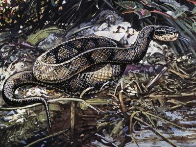 Water Moccasin or Cottonmouth (Agkistrodon Piscivorus), Viperidae