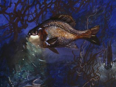 Yelight Fish or One-Fin Flashlightfish (Photoblepharon Palpebratum), Anomalopidae