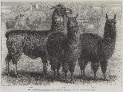 Mr Ledger's Alpacas and Llamas at Sophienburg, the Seat of Mr Atkinson, New South Wales