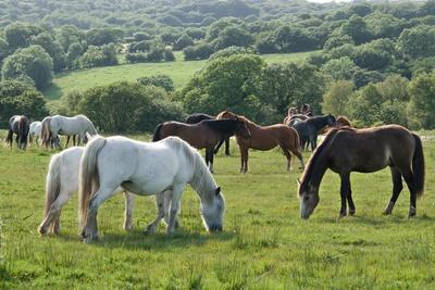 Herd of 'Wild' Gower Ponies Grazing on Fairwood Common, Gower, S.Wales, Uk