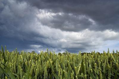 Wheatfield under Dramatic Rainstorm Sky, Near Belsay, Northumberland, Uk