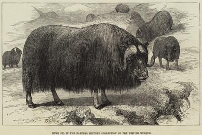 Musk Ox, in the Natural History Collection of the British Museum