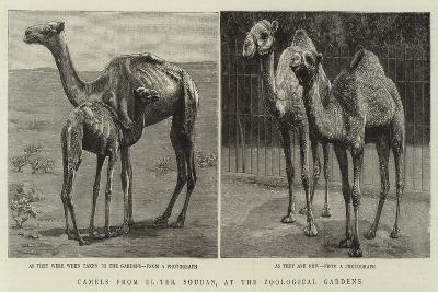 Camels from El-Teb, Soudan, at the Zoological Gardens