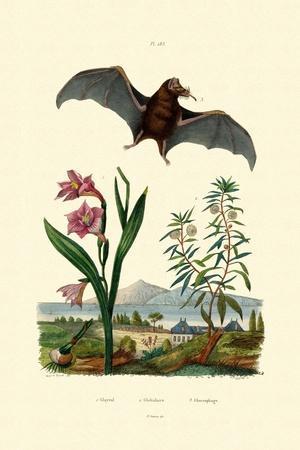 Gladiolus, 1833-39