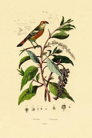 Pokeweed, 1833-39