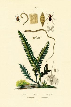 Bee Beetle, 1833-39