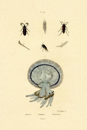 Jellyfish, 1833-39
