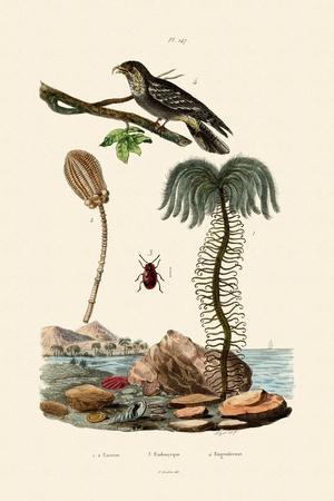 Sea Lily, 1833-39