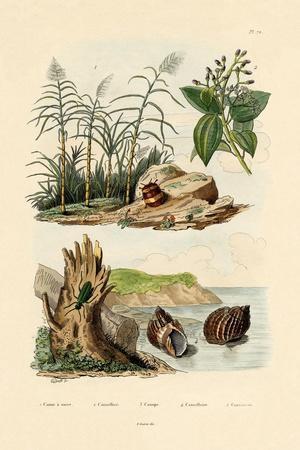 Sugarcane, 1833-39