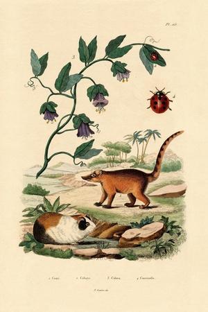Coati, 1833-39