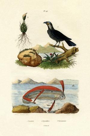 Ribbonfish, 1833-39
