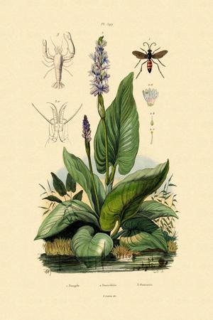Spider Wasp, 1833-39
