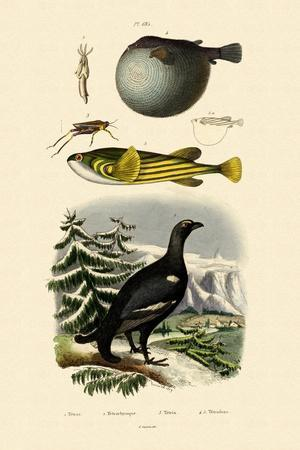 Wood Grouse, 1833-39