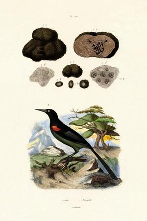 Oriole, 1833-39