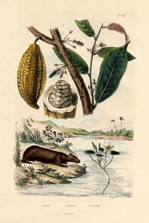 Capybara, 1833-39