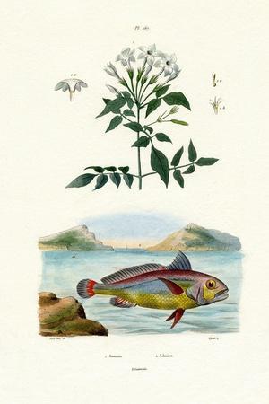 Jasmine, 1833-39