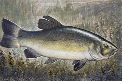 Tench or Doctor Fish (Tinca Tinca), Cyprinidae, Drawing