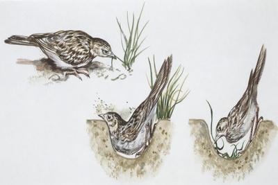 Zoology: Birds, Skylark (Alauda Arvensis) Building Nest