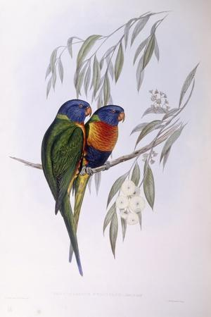 Ornate Lorikeet (Trichoglossus Ornatus), by John Gould