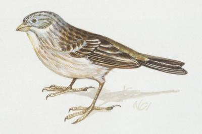 Zoology: Birds, Ortolan Bunting, (Emberiza Hortulana)