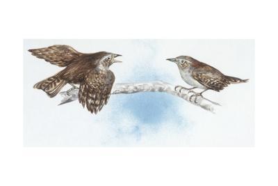 Zoology: Birds, Winter Wren (Troglodytes Troglodytes)