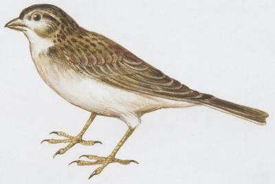 Zoology: Birds, Greater Short-Toed Lark (Calandrella Brachydactyla)