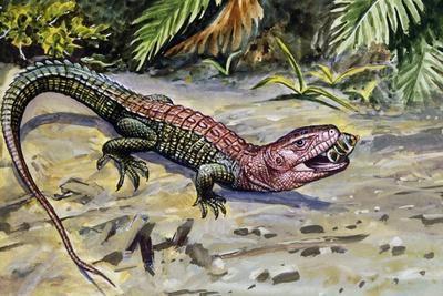 Northern Caiman Lizard (Dracaena Guianensis), Teiidae