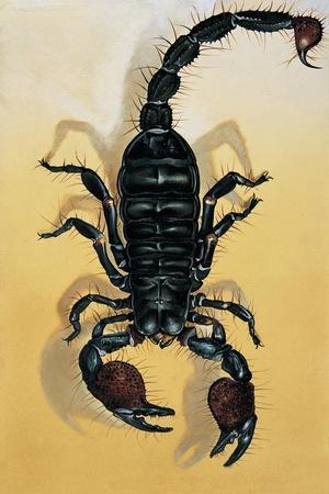 Close-Up of an Emperor Scorpion (Pandinus Imperator)