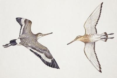 Zoology: Birds, Black-Tailed Godwit, (Limosa Limosa)