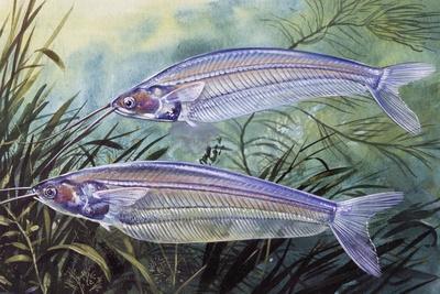 Glass Catfish (Kryptopterus Bicirrhis), Siluridae, Drawing