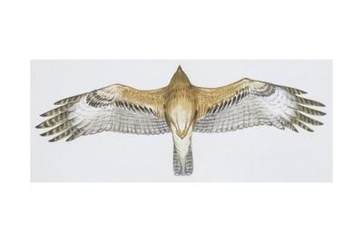 Zoology: Birds, Bonelli's Eagle (Hieraaetus Fasciatus)