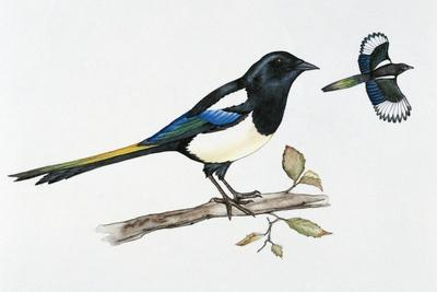 Eurasian Magpie or Common Magpie (Pica Pica), Corvidae