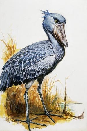 Shoebill or Whalehead (Balaeniceps Rex), Balaenicipitidae