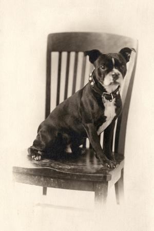 Boxer Sitting on a Chair, C.1890