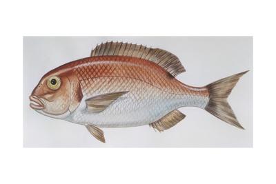 Fishes: Perciformes Sparidae - Common Seabream (Pagrus Pagrus)