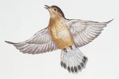 Zoology: Birds, Streaked Fantail Warbler, (Cisticola Juncidis)
