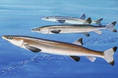 Beaked Salmon (Gonorhynchus Gonorhynchus), Gonorynchidae
