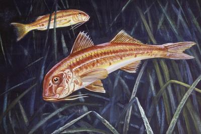 Striped Red Mullet or Surmullet (Mullus Surmuletus), Mullidae