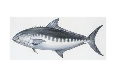 Fishes: Perciformes Carangidae, Derbio (Trachinotus Ovatus)