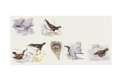 Zoology: Birds, White-Throated Dipper (Cinclus Cinclus)