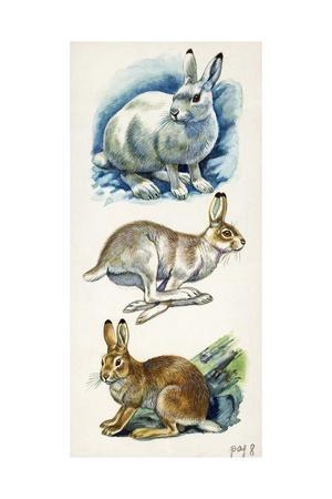 Mountain Hare Lepus Timidus